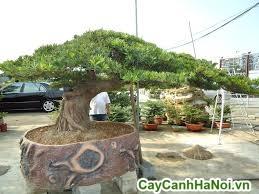 cây vạn niên tùng