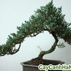 cây tùng lá kim bonsai trang trí phòng khách