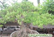 cây vạn niên tùng bonsai dáng bay