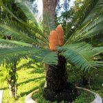 cây vạn tuế cây cảnh phong thủy