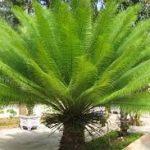 cách trồng cây vạn tuế