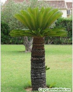 hướng dẫn trồng cây vạn tuế
