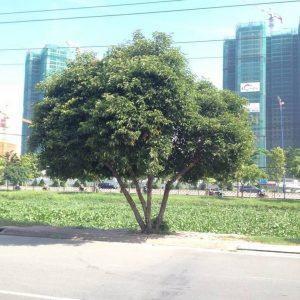 cây cảnh ven đường