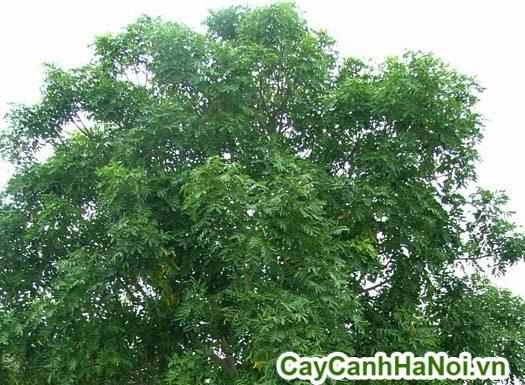 tác dụng chữa bệnh của cây xà cừ