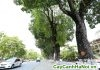 cây xà cừ trang trí đường phố