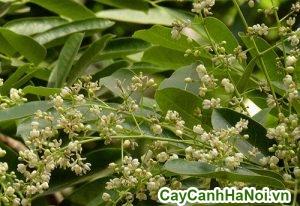 hoa cây xà cừ