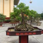 cây phi lao