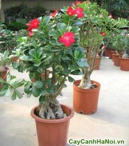 cây sứ thái hồng