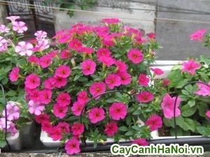 hoa dã yến thảo