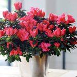 cây hoa đỗ quyên
