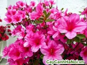 hoa đỗ quyên cho ngày tết