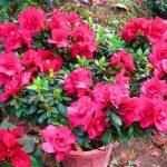 cây hoa đỗ quyên trang trí