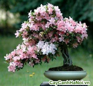 hoa đỗ quyên tượng trưng cho tình cảm son sắt thủy chung