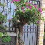 cây hoa giấy bonsai