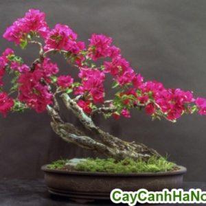 cây hoa giấy bonsai trang trí sân vườn