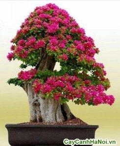 cây hoa giấy bonsai trang trí