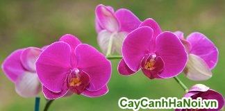 trồng hoa lan giá rẻ