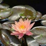 hoa trang trí tiểu cảnh dưới nước