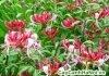 kim ngân hoa, vể đẹp của sự tinh khiết
