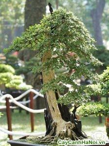 Cây Linh Sam Bonsai Thế Long Mã Hồi Đầu