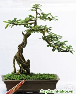 linh sam bonsai