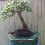 linh sam bonsai trang trí
