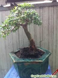 linh sam bonsai