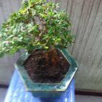linh sam bonsai chậu lục giác