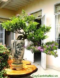cây linh sam bonsai dáng thác đổ