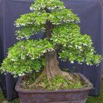 cây mai chiếu thủy bonsai cao 50cm