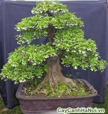 cây mai chiếu thủy bonsai
