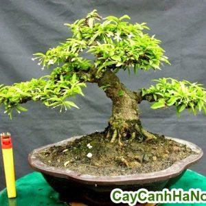 mai chiếu thủy bonsai
