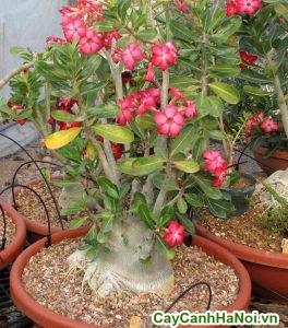 cây sứ thái hồng bonsai