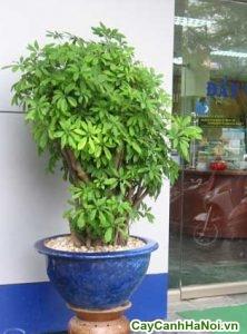 cây bonsai