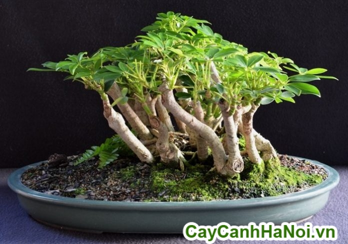 cây ngũ gia big bonsai