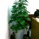 cây vạn niên thanh leo
