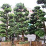 vạn niên tùng bonsai