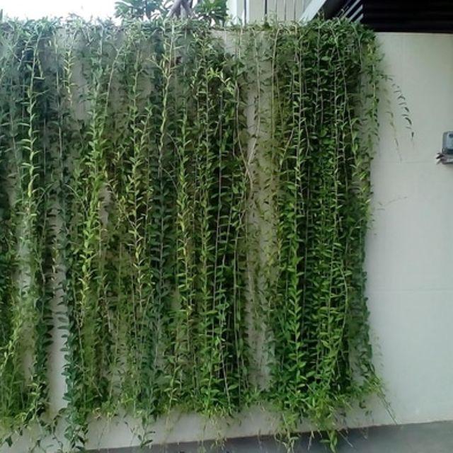 Cúc tần cây cảnh giống Ấn Độ