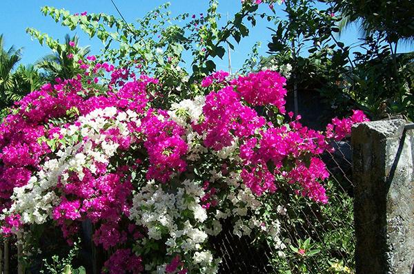 Hoa cảnh trồng cổng