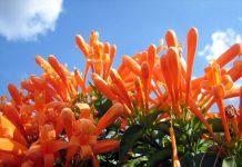 Hoa chùm ớt