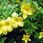 Hoa cảnh màu vàng