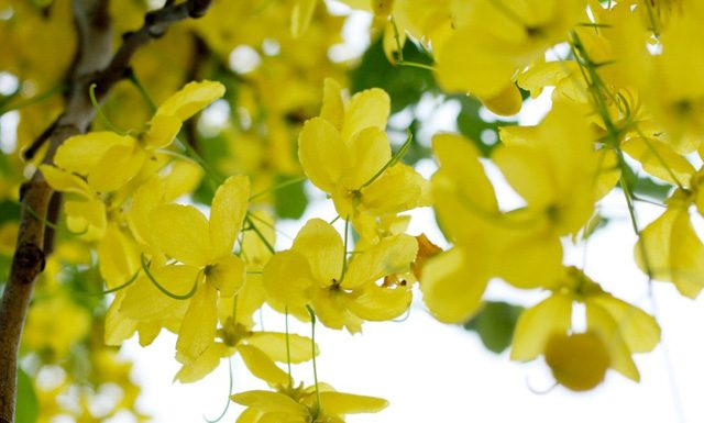 Cây hoa mai hoàng yến