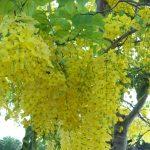 Cây hoàng yến hoa vàng
