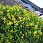 Cây cảnh hoa vàng